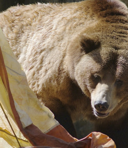 5 Ways to Attract Bears to a Campsite